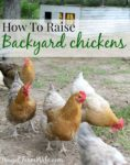 How to Raise Chickens In Your Back Yard