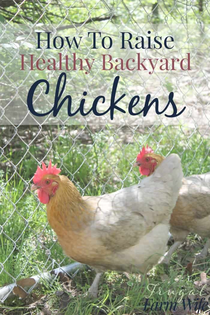how to raise healthy chickens in your backyard the