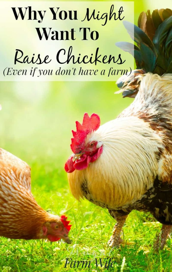 Raising Chickens Without A Farm   The Frugal Farm Wife